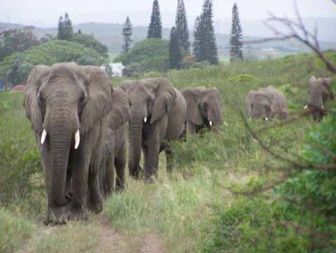 "Wild Elephants Gather Inexplicably, Mourn Death Of ""Elephant Whisperer"""